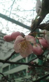 桜〜♪\(^o^)<br />  /