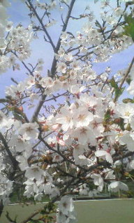 梅〜♪桜〜♪ヾ(^<br />  ▽^)ノ